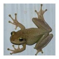 University of Florida Cuban Treefrog Citizen Science Project