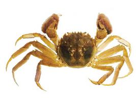 Mitten CrabWATCH
