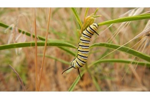 Western Monarch Milkweed Mapper