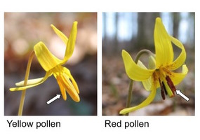 The Trout Lily Project