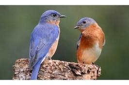 North American Bird Phenology Program